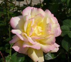 rosy-klimenko1