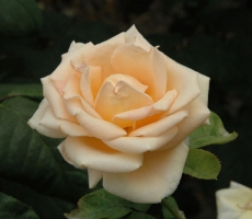 rosy-klimenko2