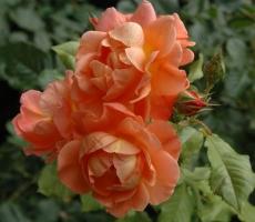 rosy-klimenko3