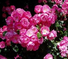 rosy-klimenko5