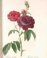 rosa-gosefina10