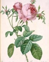 rosa-gosefina3