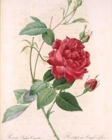 rosa-gosefina5