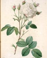 rosa-gosefina6