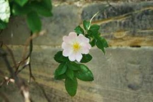 Самая старая в мире роза