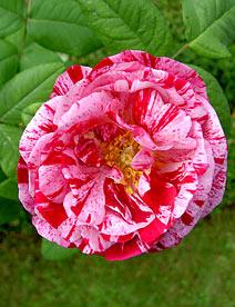 Ремонтантная роза Ferdinand Pichard