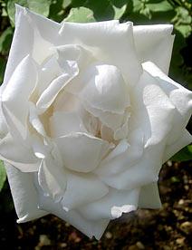 Ремонтантная роза Frau Karl Druschki