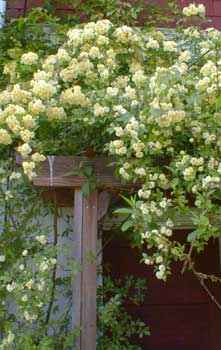 Желтая махровая вьющаяся роза Lady Banks