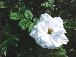 роза бланк дубл
