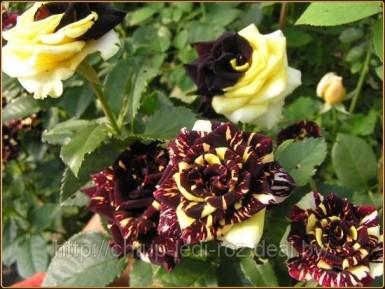 Роза флорибунда сорта Hokus Pokus Фокус- Покус