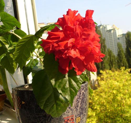 Китайская роза гибикус