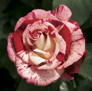 Роза грандифлора Rock-n-Roll