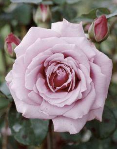 Роза грандифлора Silver Star
