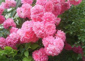 Укрытие кустовых роз на зиму