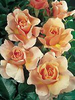 Роза флорибунда Мария Кюри