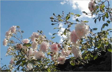 Плетистая вьющаяся роза multiflora