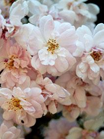 Гибридно полиантовые розы