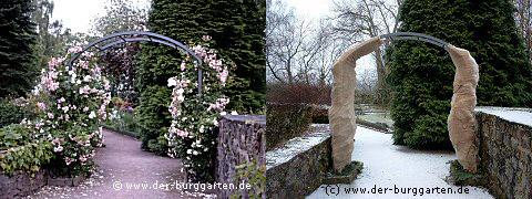 Укрытие на зиму розы плетистой