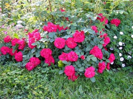 Парковая роза Hansaland Kordes park
