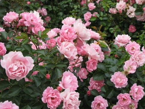 Парковая роза