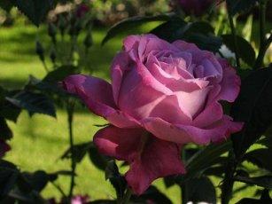 Сиреневая роза Shocking Blue