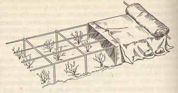 Воздушно-сухое укрытие роз кустовых форм