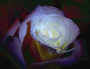 Удобрения для роз. Кальций