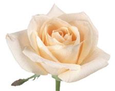 Навоз - как удобрение для роз