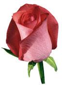 Удобрение с микроэлементами для роз