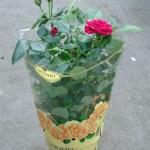 Если вы купили горшечную розу зимой