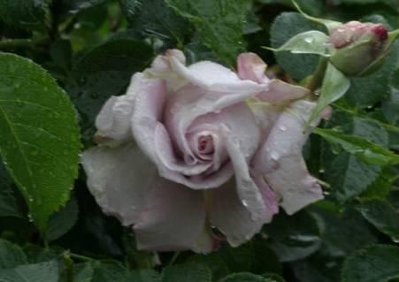 Сиреневая роза Лагерфельд (Lagerfeld)