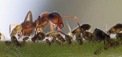 Муравьи разводят тлю