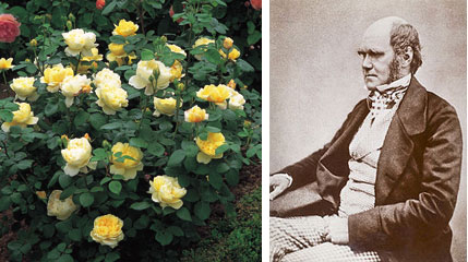 Желтая роза Чарльз Дарвин
