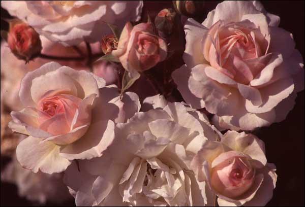 Полуплетистые розы