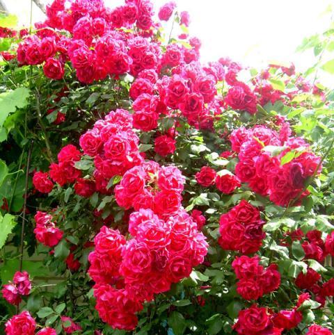 Размножение корнесобственных роз