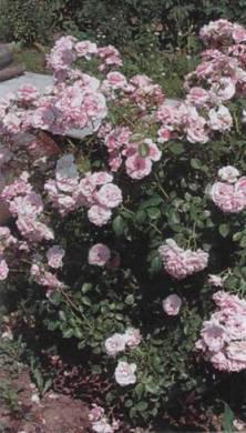 Выращиваем розы на своем участке