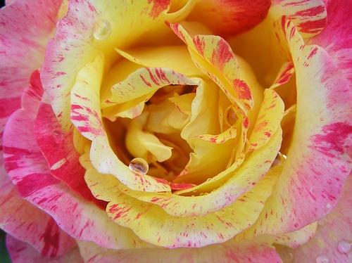 Пестрая роза Камиль Писсаро