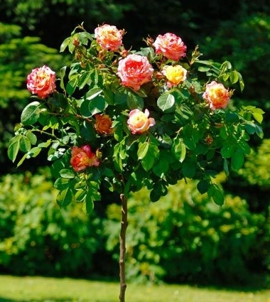 Роза Camile Pissarro