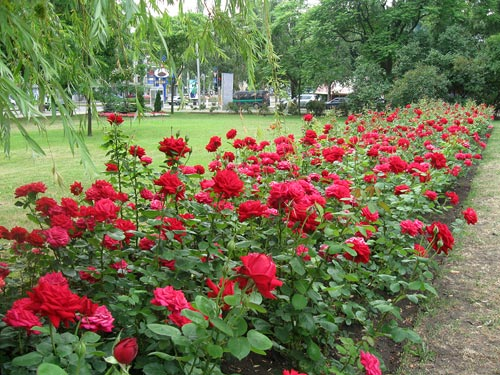 Парковые розы лучше всего сажать