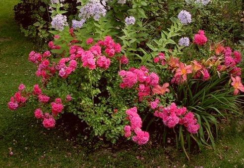 Обрезка парковых роз