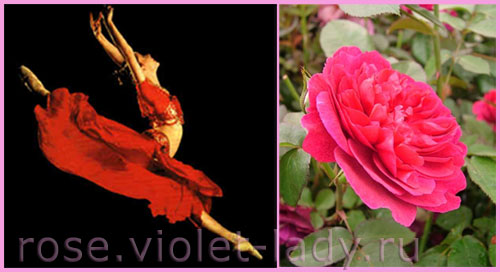 Красная роза Дарси Басселл