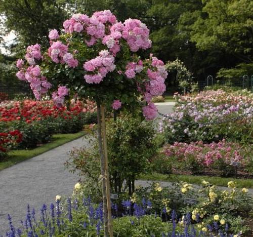 Купить розы ремонтантные