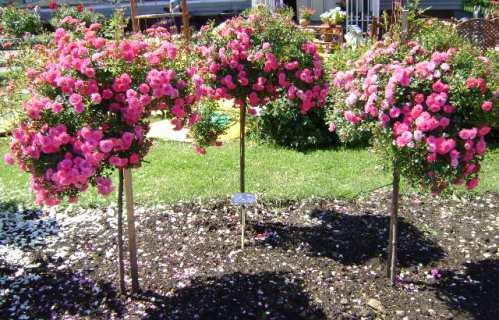 Особенности выращивания штамбовых роз