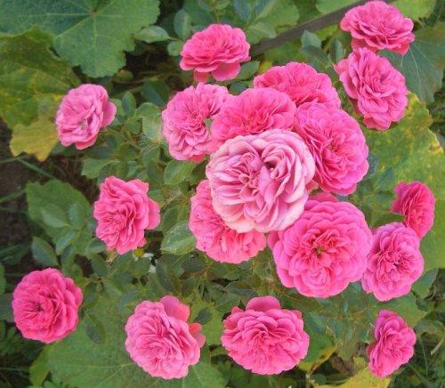 Сорт розы амулет
