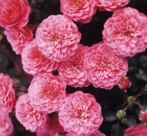 Розы Amulett
