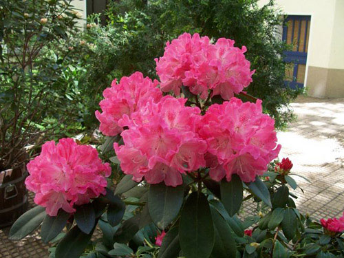 Рододендрон, альпийская роза, розовое дерево