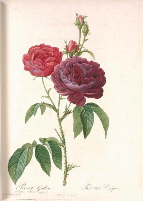 1-rosa-gosefina10