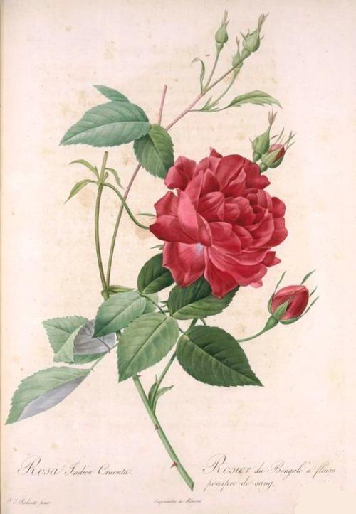 Розы Жозефины
