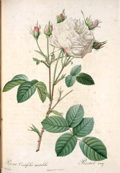 1-rosa-gosefina6