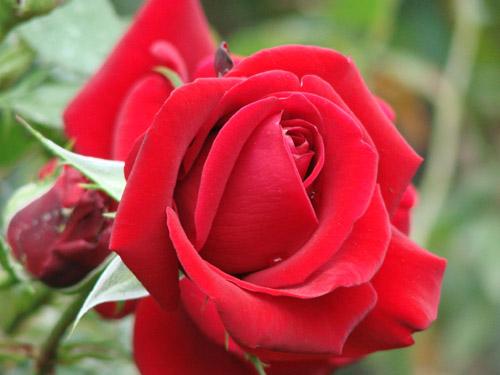 Роза селекции Клименко Большая любовь